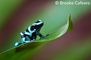 Poison dart frog by Brooke Cafearo